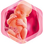 Ребенок на 26 неделе беременности