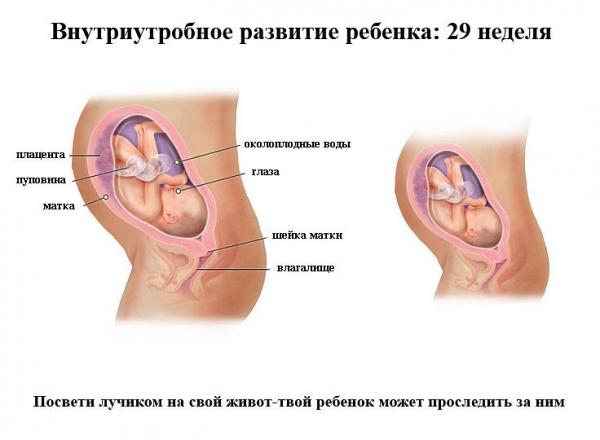 29 недель беременности развитие плода